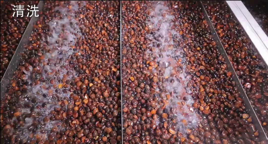 善行天下山茶油生产流程之茶果清洗